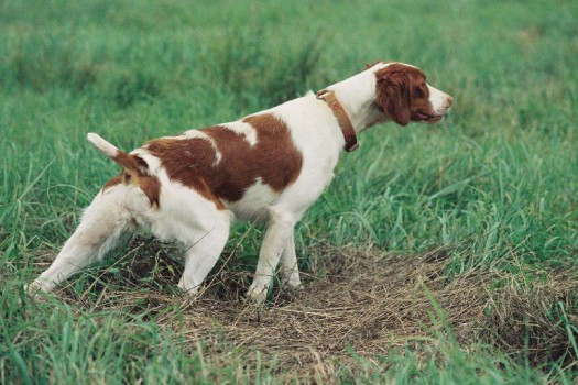 Brittany Hunting Dogs picture wallpaper