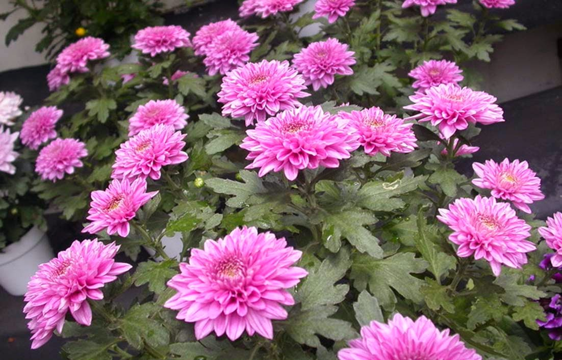 Gambar Bunga Krisan merah muda