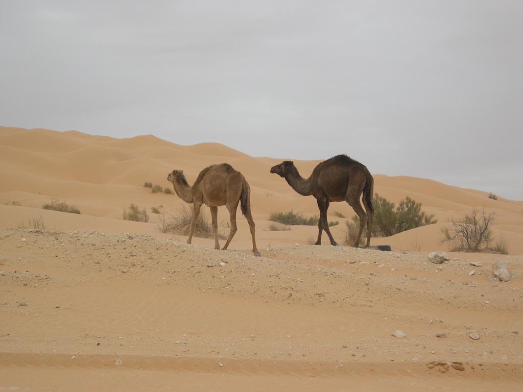 Famoso Colorear Camello En El Desierto Motivo - Enmarcado Para ...