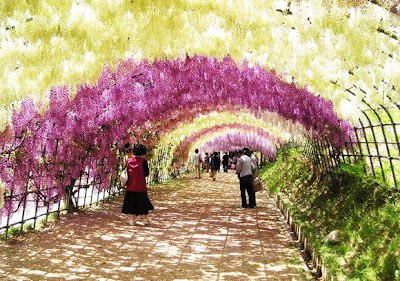 Wisteria Tunnel, Jepang
