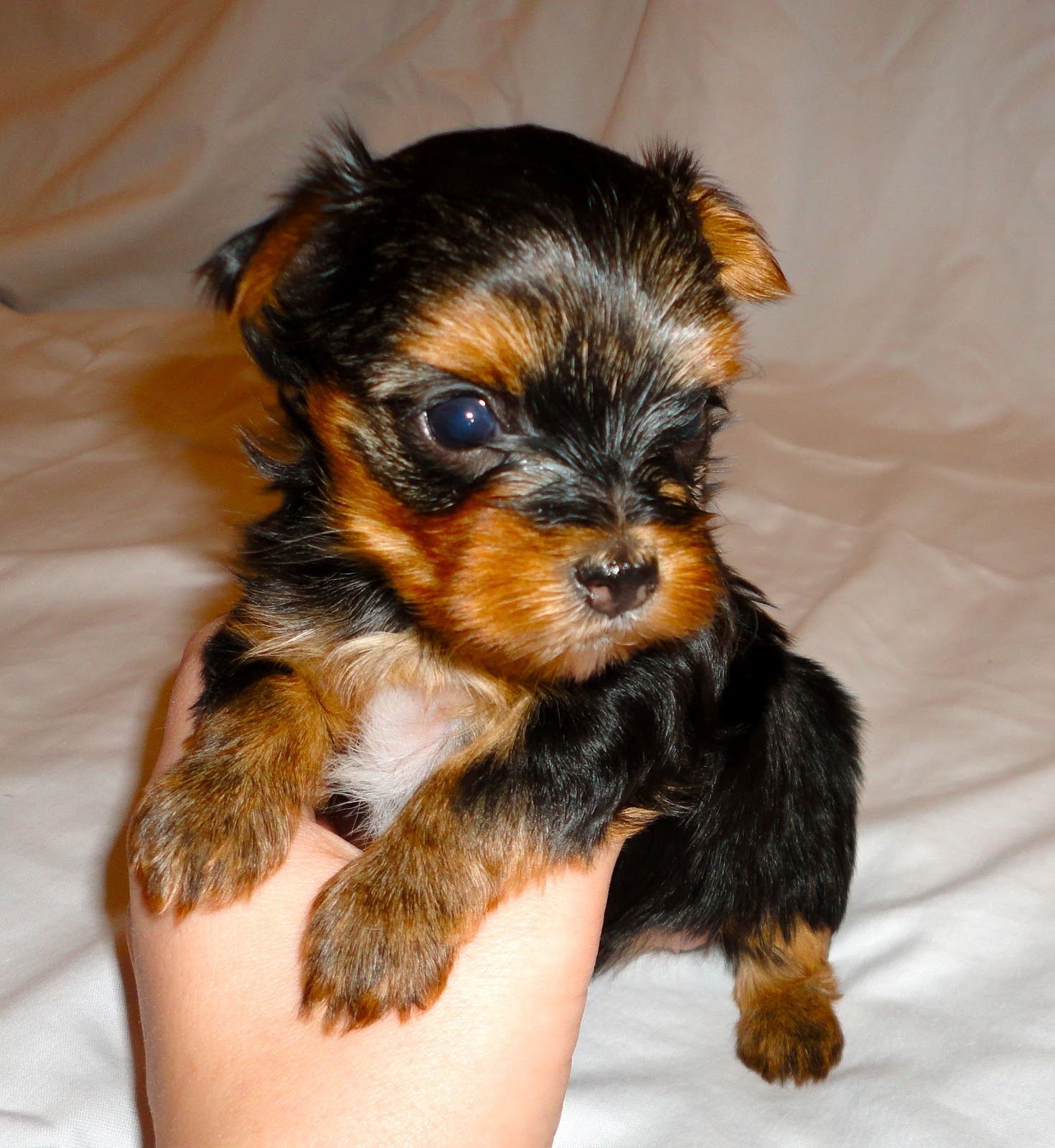 Dog Wallpaper Pictures Of A Baby Week Old Yorkie Puppies Hd Wallpaper