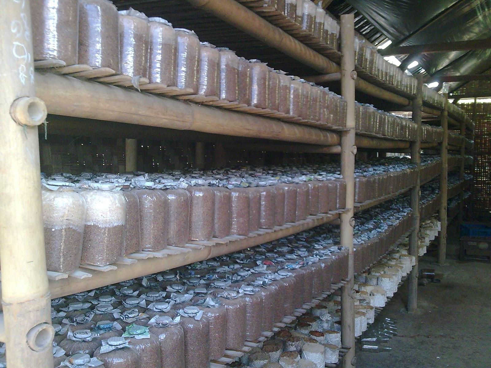 proses inkubasi media baglog jamur (cahyojamur)
