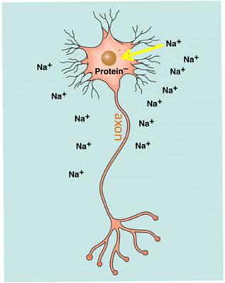 Understanding neurons 3