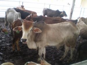 lembu aqiqah