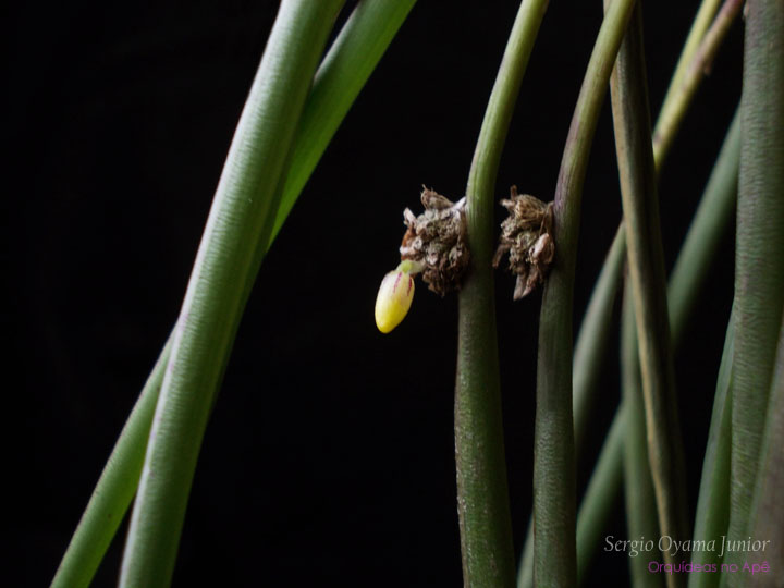 Micro-orquídea Octomeria palmyrabellae