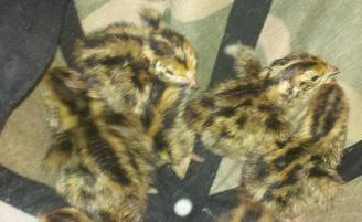 Brinsea Mini Eco egg incubator, best incubator for hatching quail, no muss no fuss incubator, coturnix quail