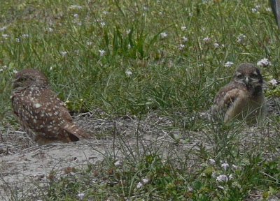 Florida suncoast birding eastern screech owl at sanibel lighthouse