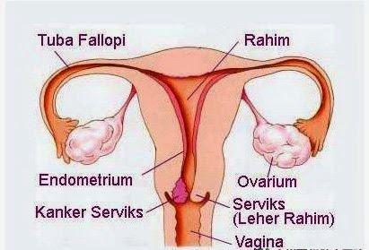 penampang vagina serviks