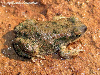 Indus Valley Baby Toad