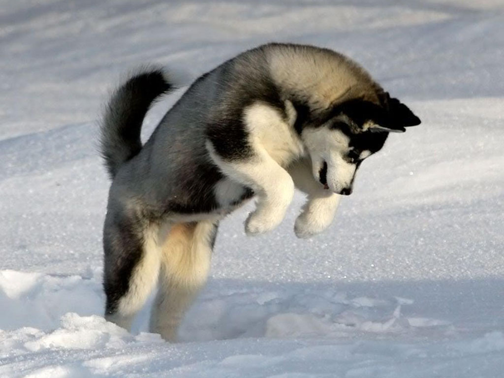 Siberian Husky | wallpaper