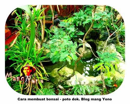 Bonsai Asem Jawa Mang Yono