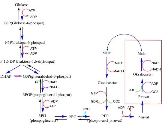 glikolisis dan glukoneogenesis