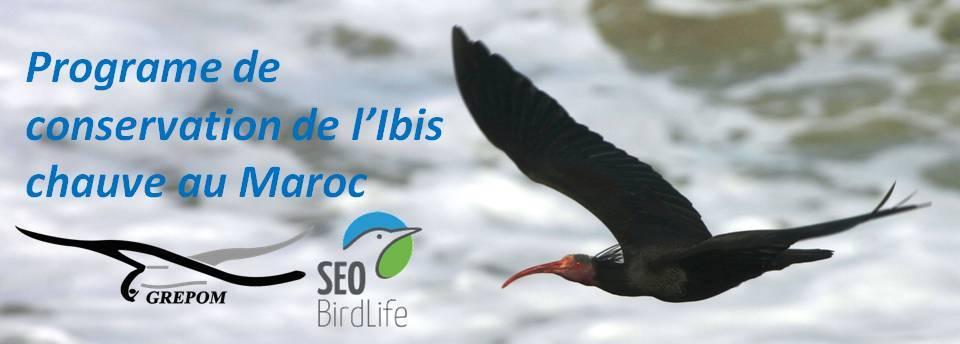 Ibis chauve                         أبو منجل