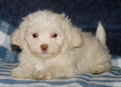 Small Furry Dog Breeds Small Dog Puppies   Dog Breeds Picture