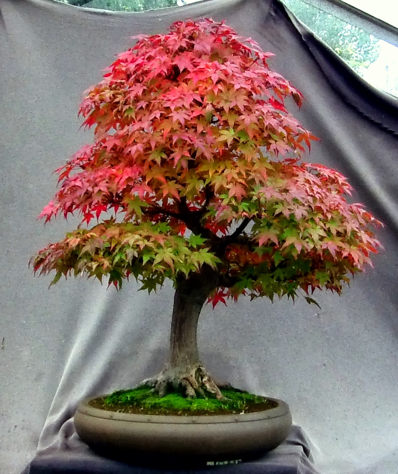 MiKo Bonsai October 2013