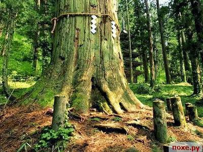 Pohon Sakeki, Jepang Pohon dari Jepang