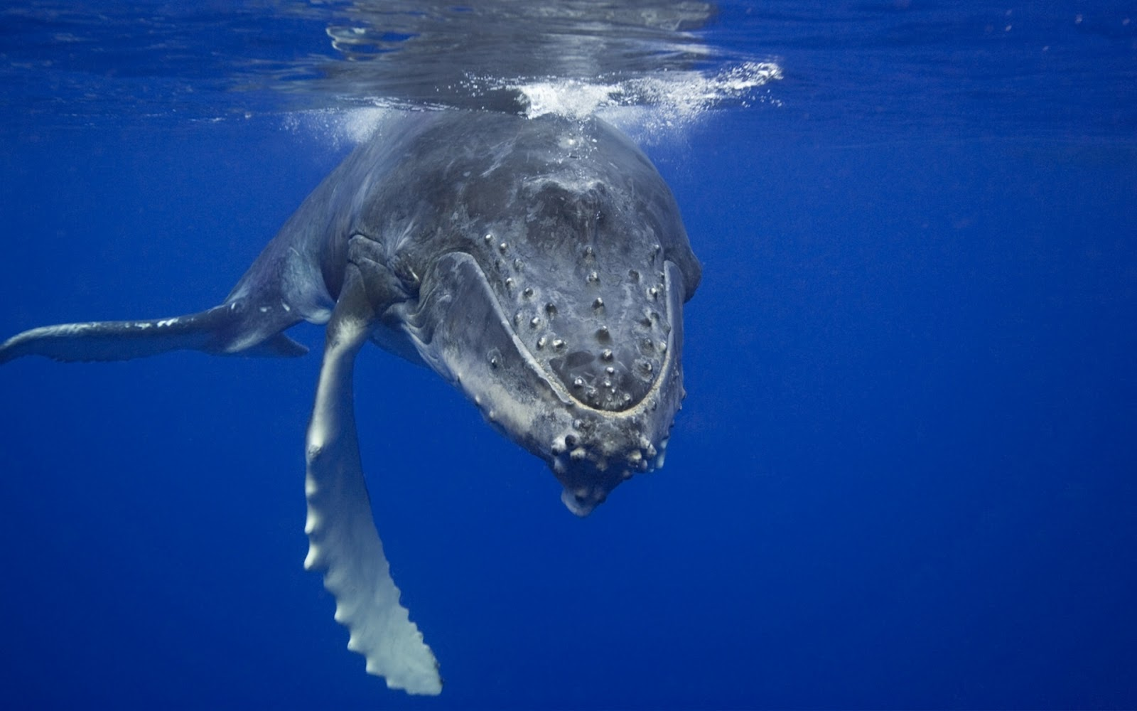 The Blue Whale - SNSH