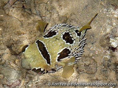 Masked Porcupinefish (Diodon liturosus)