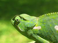 lingua - Lingua de camaleão inspira design robótico  019_chameleon