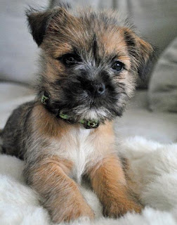 Cairn Terrier Puppy Image