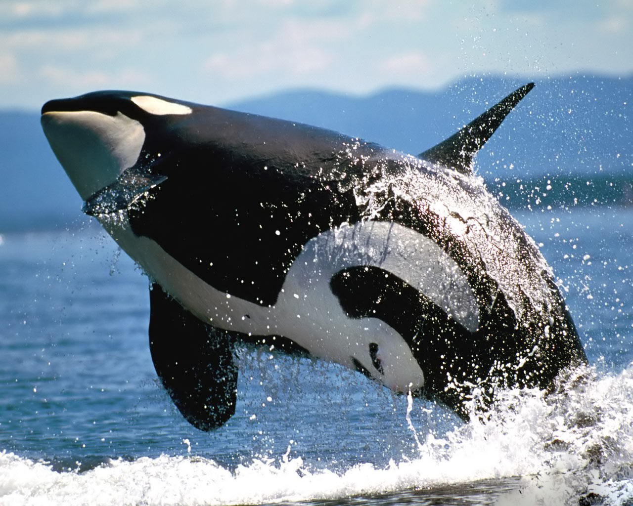 killer whales wallpapers - Funny Animals