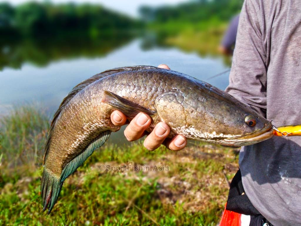Freshwater fish kerala - Kerala Fish Varieties Both Fresh Water And Sea Fish