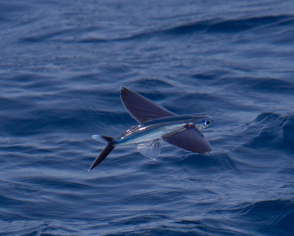 Flying animal flying fish for Flying fish images