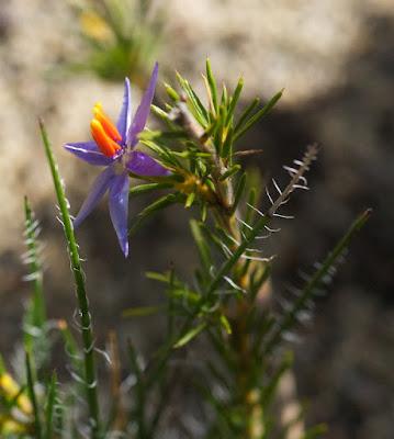 Blue Tinsel Lily (Calectasia grandiflora)