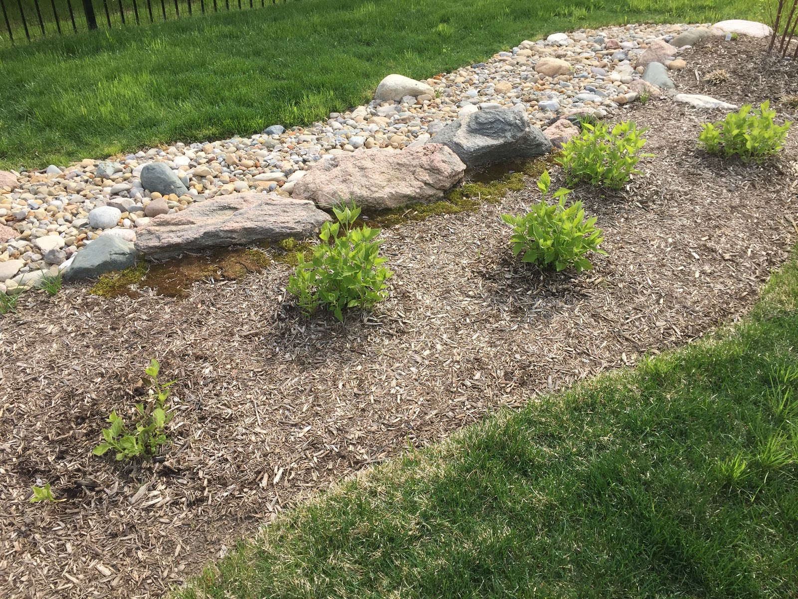 small Hydrangea arborescens 'Annabelle'