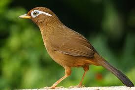 Berbagai Macam Gambar Burung Kicau
