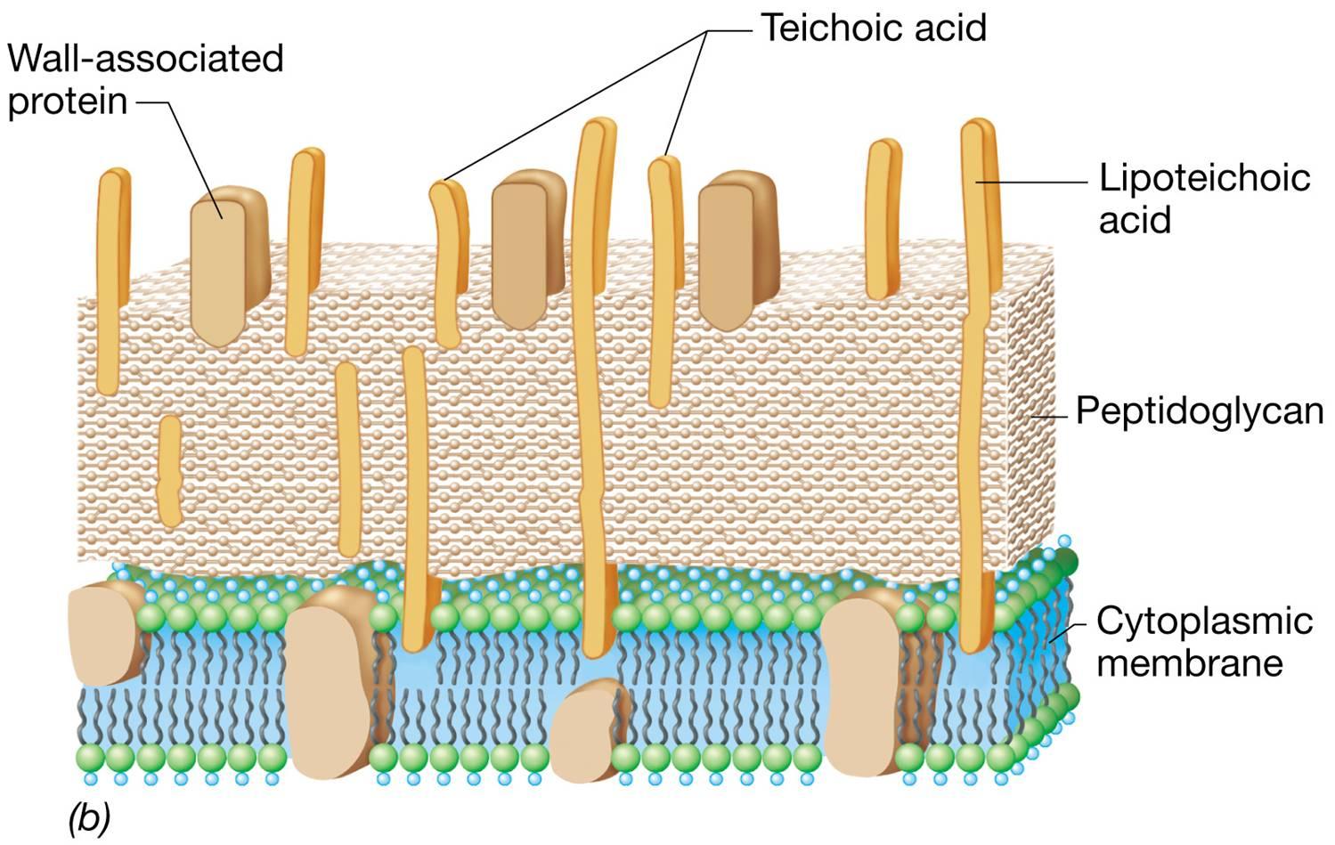 See image of teichoic acid