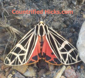 moth, beautiful insects, moths of Oklahoma, i found a cool moth, what is it?, hicks, 