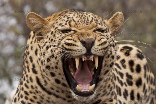 Leopard Panthera pardus Das Gebiss der Leoparden
