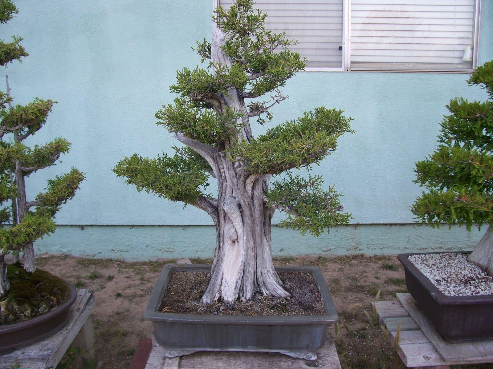 What39s Happening At Muranaka Bonsai Nursery May 2011