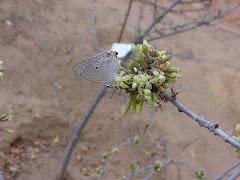 Borboleta na flor do mamãozinho-de-veado