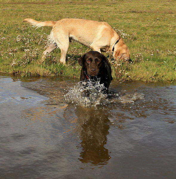 Labs At Play By IDSphotos From Tiverton UK