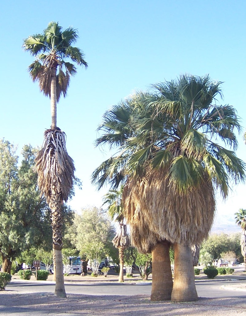 photo california fan palm compared to a mexican fan palm