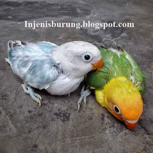 Burung Lovebird Blorok Asal Mulanya