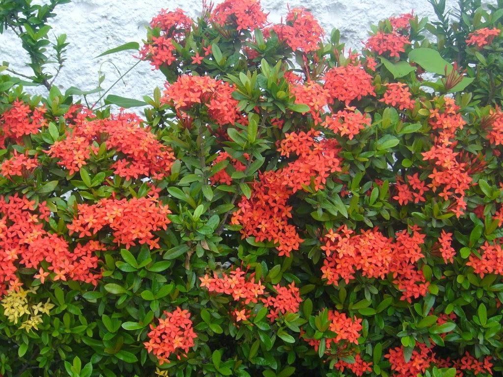 Di rio com a natureza 11 de abril ixora flor for Arbustos de jardin nombres