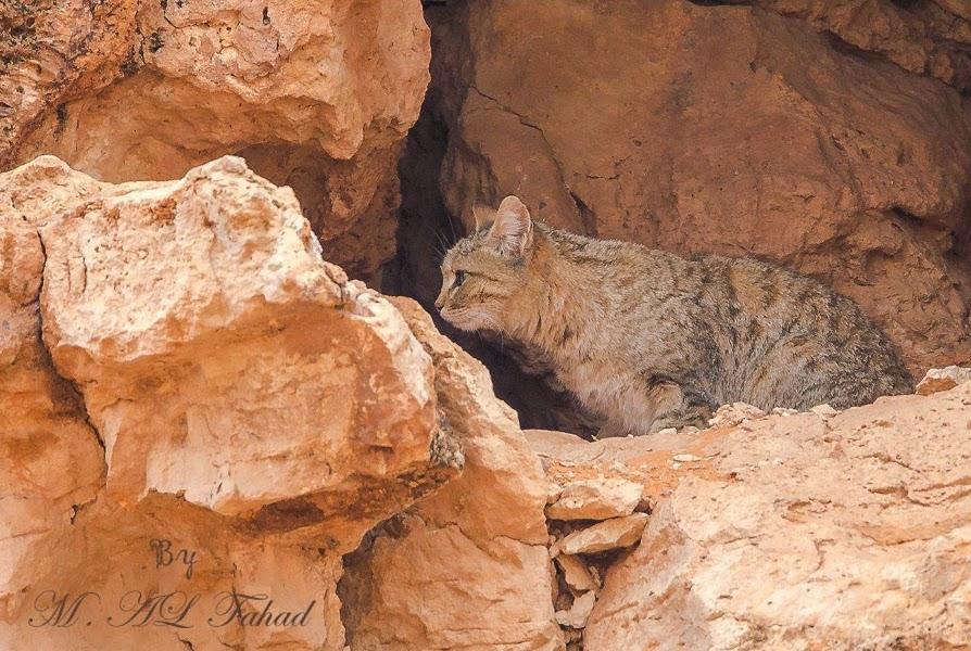 Arabian Wildcat