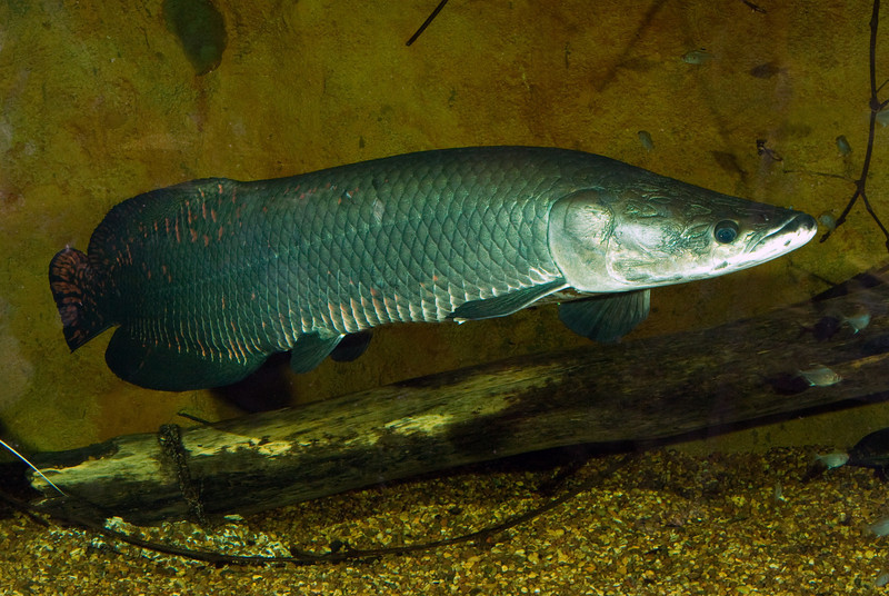 the life of animals arapaima arapaima can reach lengths of over 2 m 6 ...