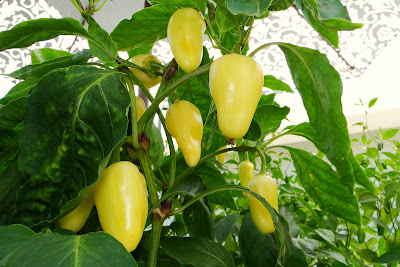 Mariachi peppers on Alejandro farm