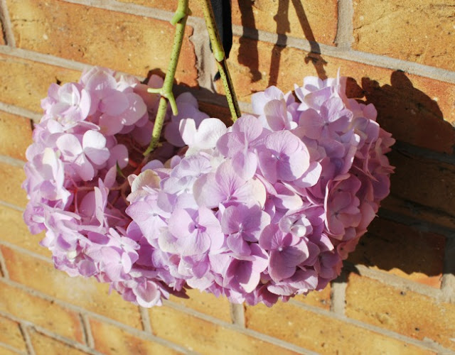 2 pink Hydrangea flowers hanging upside down in the sun on brickwall