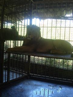 lazy lion in zoobic safari