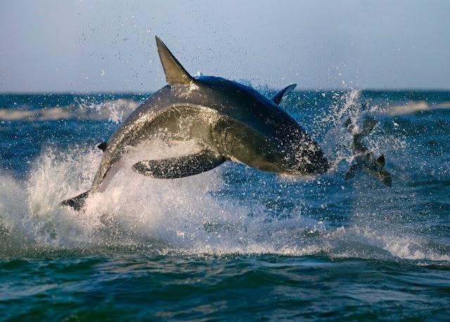 سمكة قرش كبيرة تقفز من الماء