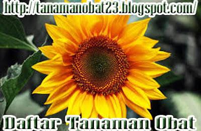 Manfaat Dan Khasiat Tanaman Bunga Matahari  (Helianthus annuus Linn.)