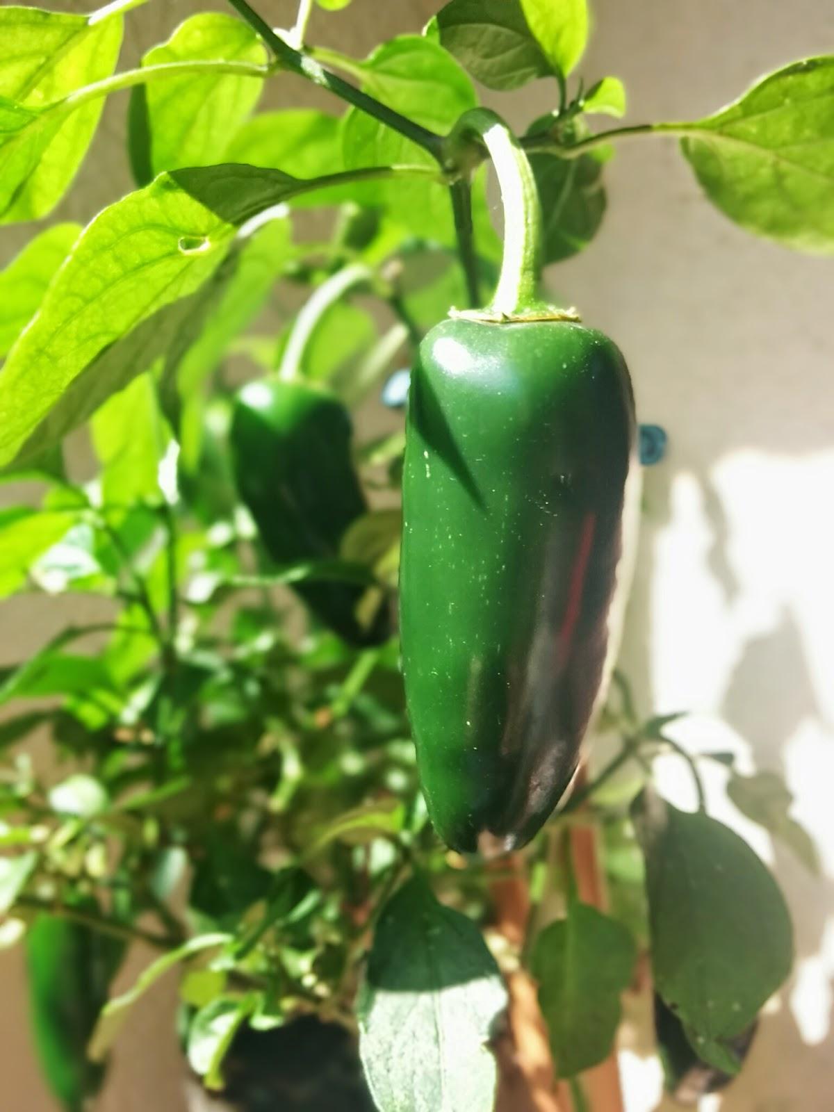 jalapeno chili