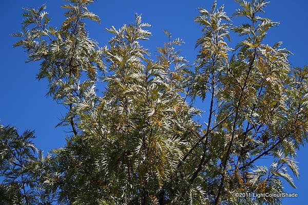 White backed foliage of Silk Oak (Grevillea Robusta)
