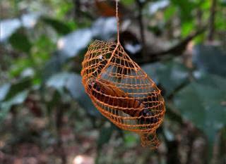 Struktur aneh seperti jaring serangga berbentuk pagar terlihat di Hutan Amazon