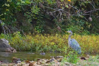 Blue Heron Hunting with River Otter